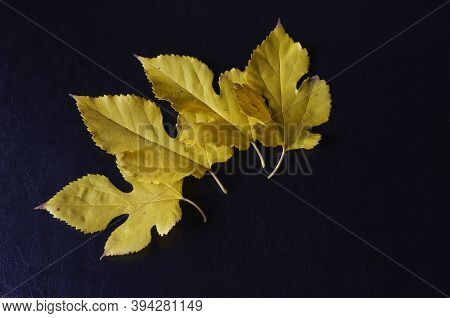 Creative Multitasking Background With Fallen Leaves On Black Background. Leaves Lay Loose On Solid T