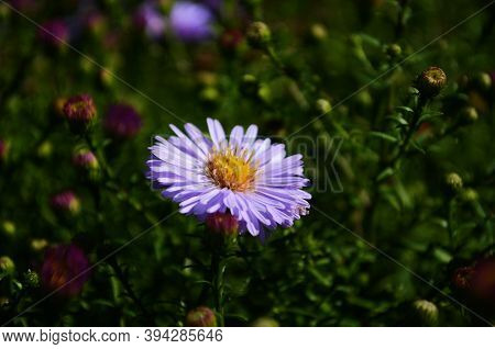 Aster Flowers On Green Leaves Background. Colorful Multicolor Aster Flowers Perennial Plant. Close U
