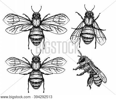 Bees Set. Vector Illustration Of Tree Honey Bee. Hand Drawn Sketch Isolated On White