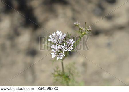 Common Coriander Flower - Latin Name - Coriandrum Sativum