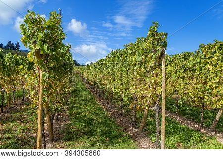 Vineyard In Alsace Near Dambach-la-ville, France. Autumn