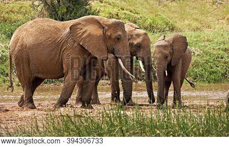 African Elephant, Loxodonta Africana, Herd Standing Near River, Samburu Park In Kenya