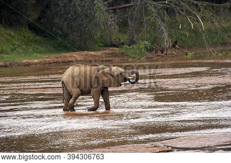 African Elephant, Loxodonta Africana, Young Drinking At River, Samburu Park In Kenya