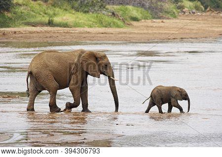 African Elephant, Loxodonta Africana, Female With Calf Crossing River, Samburu Park In Kenya