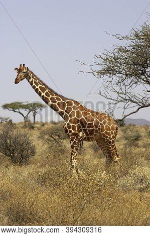 Reticulated Giraffe, Giraffa Camelopardalis Reticulata, Adult In Savannah, Samburu Park In Kenya