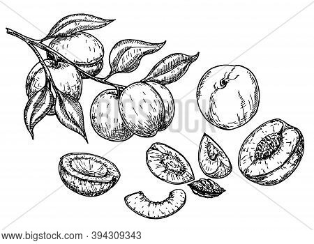 Peach Fruit Sketch Set. Vector Background With Peaches. Vintage Eco Food Vector Illustration. Ripe P