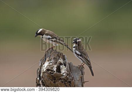 White Browed Sparrow Weaver, Plocepasser Mahali, Adults Standing On Branch, Masai Mara Park In Kenya