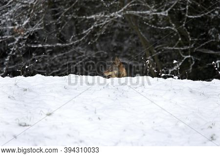 Iberian Wolf, Canis Lupus Signatus, Adult Camouflaged In Snow