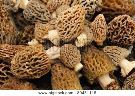 Morel Mushroom Background