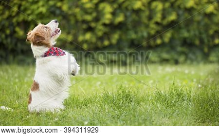 Obedient Happy Excited Jack Russell Terrier Smiling Dog Begging In The Grass. Pet Training Banner.