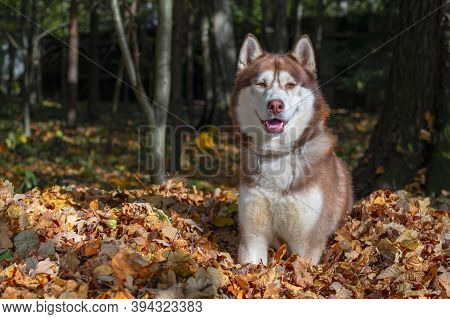 Husky Dog Sits On Pile Of Yellow Leaves. Siberian Husky Smiling Dog. Autumn Sunny Day In The Forest.