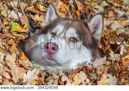Red Siberian Husky Dog In Yellow Autumn Foliage. Siberian Husky In The Autumn Park, Sunny Day