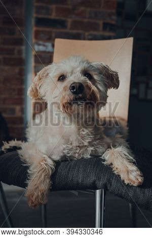 Cute White Dog Laying On A Cushion On Top Of A Dining Chair At Home, Looking Up, Selective Focus.