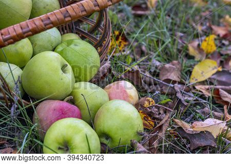 Apples In A Wicker Basket. Fresh Bright Green Apples In An Inverted Basket, Late Summer And Early Fa