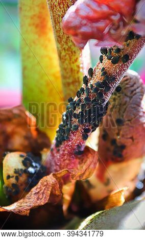 Macro View Of Aphids Infesting A Plant Stem