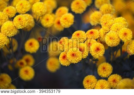 Yellow-orange Chrysanthemums On A Blurry Background Close-up. Beautiful Bright Chrysanthemums Bloom