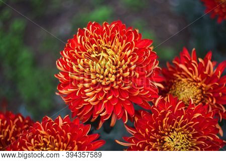 Red And Yellow Chrysanthemums On A Blurry Background Close-up. Beautiful Bright Chrysanthemums Bloom