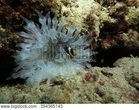 A Small Clark's Anemonefish Inside A Bubble-tip Anemone Cebu Philippines