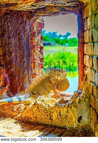 Green Iguana, Also Known As The American Iguana In The Loophole Of An Ancient Fort, The Southernmost