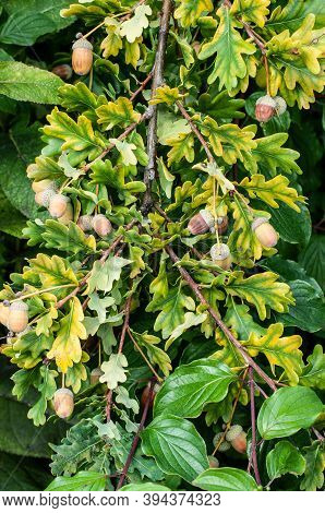 Brown Acorns Hanging At A Twig Of An Oak Tree With Lobed Leaves