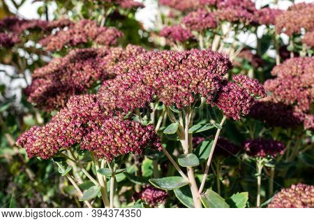 Pink Flowers Of Hylotelephium Spectabile Or Butterfly Stonecrop Arranged In Flat Cymes