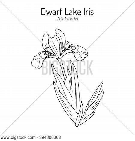 Dwarf Lake Iris Iris Lacustris , State Wild Flower Of Michigan. Hand Drawn Botanical Vector Illustra