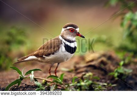 The Three-banded Plover, Or Three-banded Sandplover (charadrius Tricollaris) Standing On The Shore.