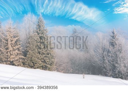 Tall Spruce Trees In Hoarfrost In The Morning. Beautiful Winter Nature Scenery On A Bright Misty Day