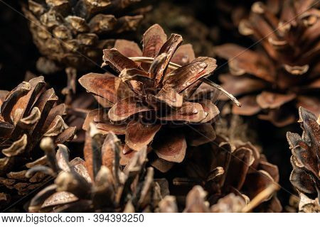 Beautiful Pine Cones. A Bunch Of Pine Cones. Cones Christmas Background. Natural Background. A Group