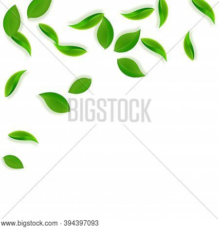 Falling Green Leaves. Fresh Tea Neat Leaves Flying. Spring Foliage Dancing On White Background. Admi