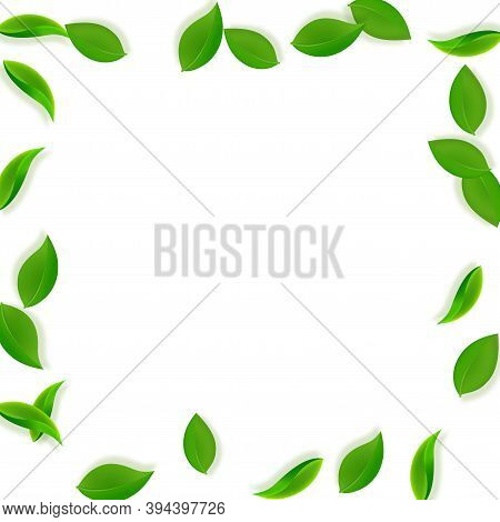 Falling Green Leaves. Fresh Tea Neat Leaves Flying. Spring Foliage Dancing On White Background. Ador