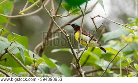 Common Visitor In Residential Areas, Leptocoma Minima As Know As Crimson-backed Sunbird
