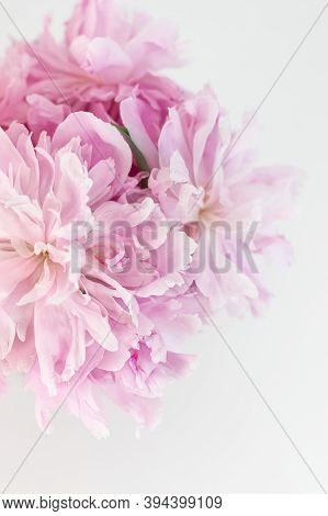 Pink Abstract Floral Background. Peony Flower Close Up. Copy Space. Selective Focus. Vertical Crop.
