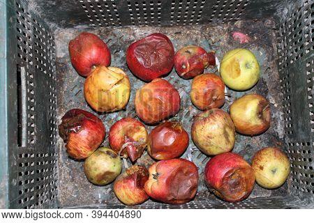 Malus Domestica, Bad Apple In The Bucket.