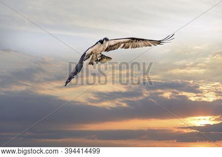 Magnificent Osprey Flying With A Large Rock Fish In Its Talons Over The Chesapeake Bay Against A Sun