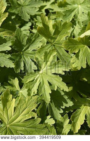 Rock Cranesbill Leaves - Latin Name - Geranium Macrorrhizum