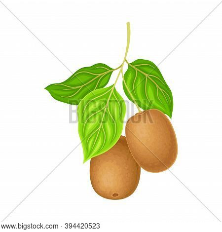 Whole Kiwifruit Or Kiwi With Fibrous Brown Skin Hanging On Tree Branch Vector Illustration