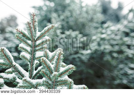 Spruce Branch In The Snow With Short Needles Close-up. Natural Background, Green Christmas Tree Text