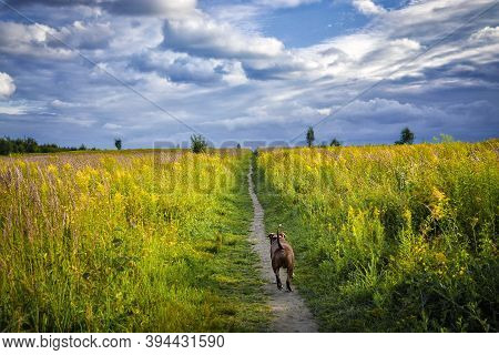 The Dog Runs Along The Path In The Field. Yellow Wild Grasses Are Blooming In The Field. Clouds Gath