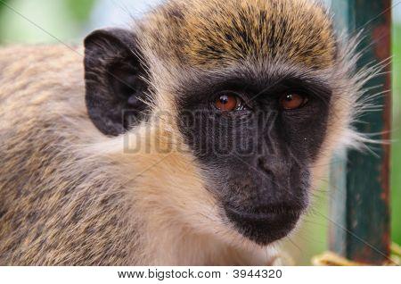 Profile Of A Monkey