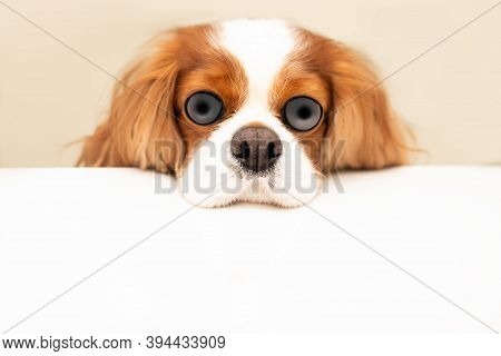Funny Photo Of A Dog With Bulging Eyes And A Swollen Nose. The Cavalier King Charles Spaniel Put His