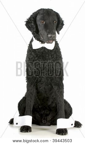 formal dog - curly coated retriever dressed up in bow tie and cuffs on white background