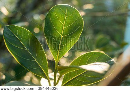 Green Leaf Absorbs Morning Sunlight. Leaves Of A Plant Close-up With Back-lit Morning Ray Of Light.