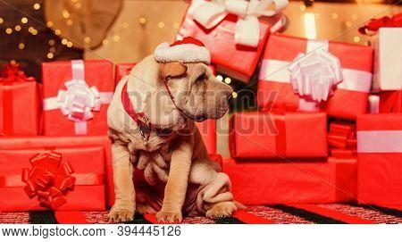Wish List. Small Shar Pei Puppy. Puppy Santa Claus. Little Dog Gift Boxes Background. Dog Year. Vete