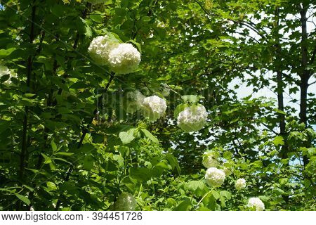 Multiple White Inflorescences Of Viburnum Opulus Sterile In Mid May