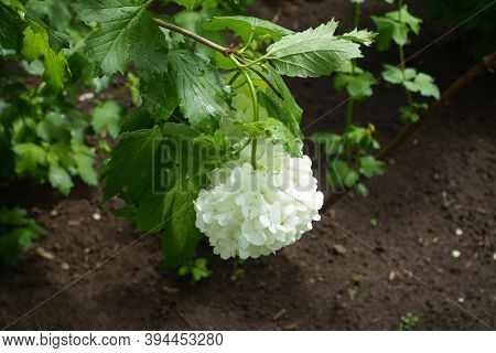 Pure White Inflorescence Of Viburnum Opulus Sterile In May