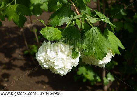 Sprig Of Viburnum Opulus Sterile With Two Round White Inflorescences In May