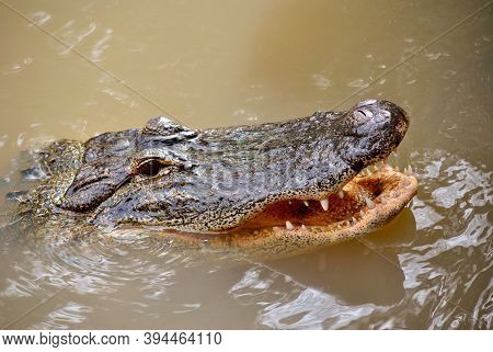 American Alligator Latin Name Alligator Mississippiensis With Mouth Open