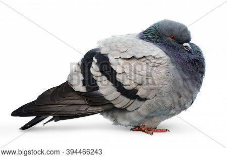 One Cold Beautiful Common Pigeon Against A White Background