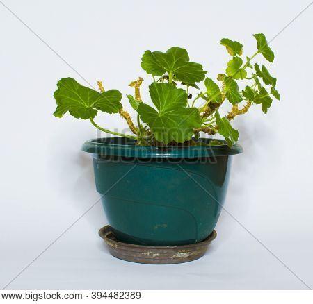 Geraniums, Pelargoniums, Or Storksbills Flowering Plant On Gray Background